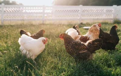 Court finds evidence of fowl play among chicken producers